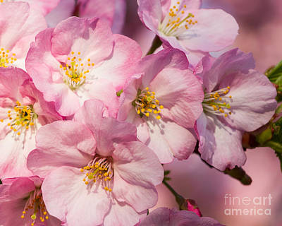 Photograph - Pink Blossoms-2 by Dale Nelson