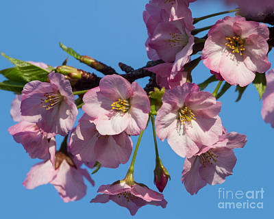 Pink Blossoms-3 Art Print by Dale Nelson