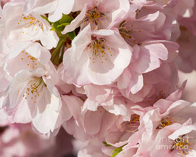 Photograph - Pink Blossoms-4 by Dale Nelson