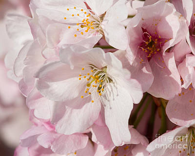 Photograph - Pink Blossoms-5 by Dale Nelson