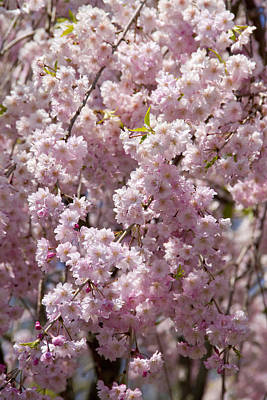 Ashlee Meyer Photograph - Pink Blossoms IIi by Ashlee Meyer
