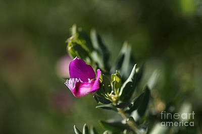 Pink Blush - Sweet Pea Bush  Print by Joy Watson