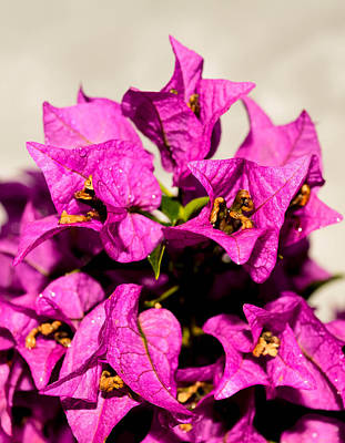 Photograph - Pink Bougainvillea Classical by Lisa Cortez