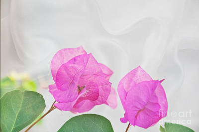 Photograph - Pink Bougainvillea Flowers On White Silk Art Prints by Valerie Garner