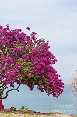 Bougainvillea Leaves Photograph - Pink Bougainvillea Tree 2 by Antony McAulay