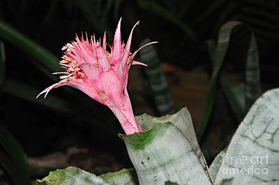 Spiky Petals Photograph - Pink Bromeliad Bloom by Kaye Menner