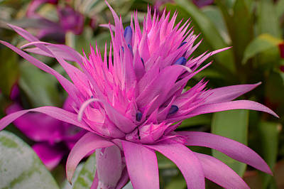 Flower Photograph - Pink Bromeliade Close Up by Diane Bell