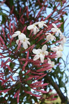 Photograph - Pink Buds And Jasmine Blossom Close Up by Tracey Harrington-Simpson