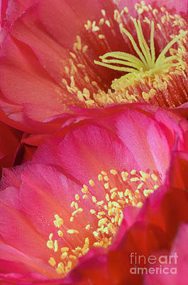Photograph - Pink Cactus Flower Bouquet II by Tamara Becker