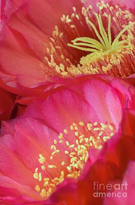 Photograph - Pink Cactus Flower Bouquet II by Tamara Becker
