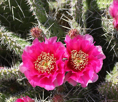 Photograph - Pink Cactus by Lee Hartsell