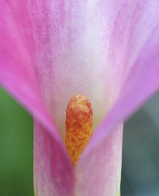 Calla Palustris Photograph - Pink Calla Lily Close-up by Anna Miller