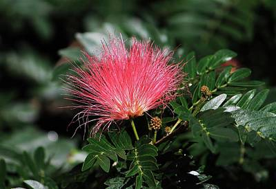 Photograph - Pink Calliandra by Michael Saunders