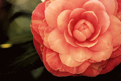 Camellia Photograph - Pink Camelia II by Amy Neal