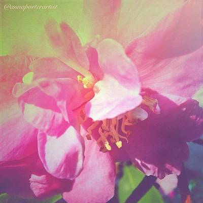 Edit Photograph - Pink Camellia Vintique Edit by Anna Porter