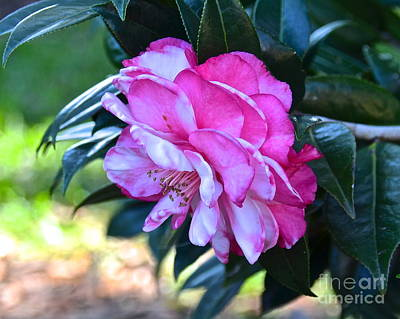 Photograph - Pink Camellia Japonica by Carol  Bradley