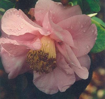 Photograph - Pink Camellia by Robert Bray