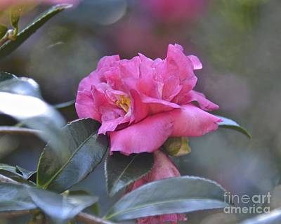 Photograph - Hot Pink by Carol  Bradley