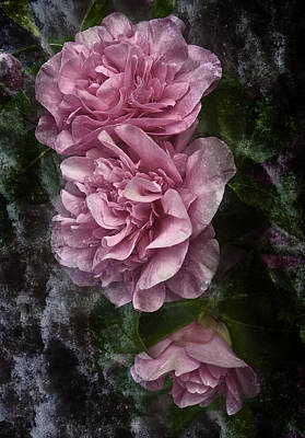 Photograph - Pink Camellias by Jane McIlroy