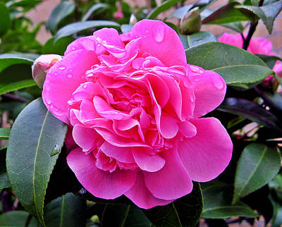 Photograph - Pink Camillia by Brian Chase
