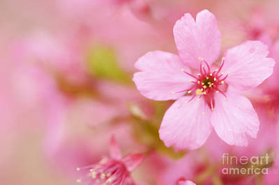 Cherry Blossoms Photograph - Pink Cherry Blossom by Oscar Gutierrez