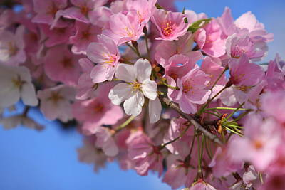 Photograph - Pink Cherry Blossoms by Anne Barkley