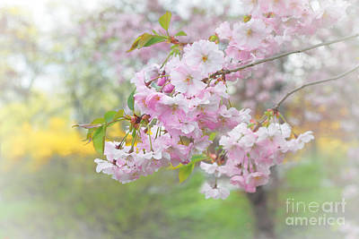 Photograph - Pink Cherry Blossoms by Charline Xia