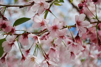 Pink Cherry Blossoms Art Print by Jocelyn Friis