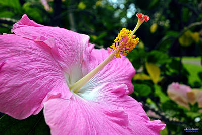 Art Print featuring the photograph Pink Chinese Hibiscus Flower by Aloha Art