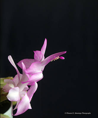 Photograph - Pink Christmas Cactus by Winston D Munnings