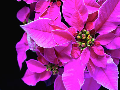 Print featuring the photograph Pink Christmas by Charles Lupica