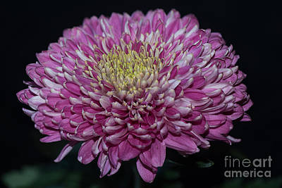 Photograph - Pink Chrysanthemum by Matt Malloy