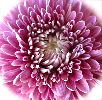 Pink Chrysanthemum Art Print by Venetia Featherstone-Witty
