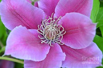 Photograph - Pink Clematis Beauty by Peggy Franz