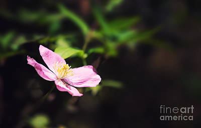 Stamen Photograph - Pink Clematis In Sunlight by Jane Rix
