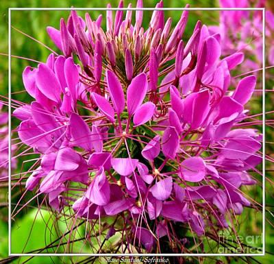 Pink Cleome Flower Art Print by Rose Santuci-Sofranko