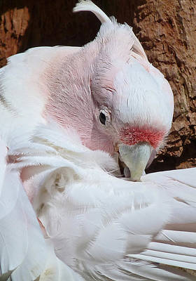 Photograph - Pink Cockatoo by Margaret Saheed