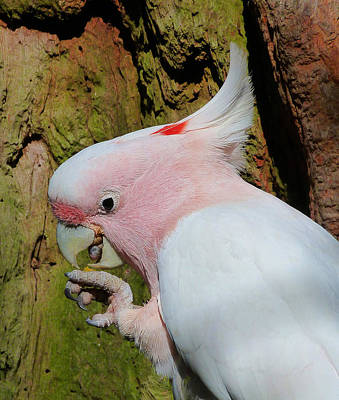 Photograph - Pink Cockatoo Snack Time by Margaret Saheed