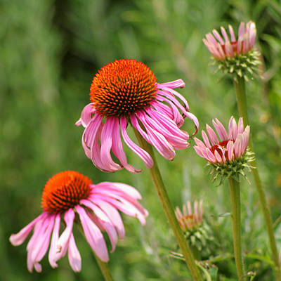 Pink Cone Flower Print by Art Block Collections