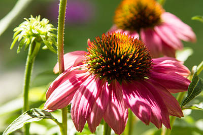Birds Photograph - Pink Cone Flower by Brian Caldwell