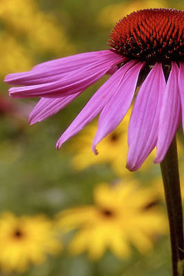 Photograph - Pink Coneflower 2 by Joann Vitali
