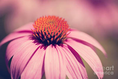 Winter Animals Rights Managed Images - Pink Coneflower Royalty-Free Image by Erin Johnson