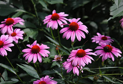 Photograph - Pink Coneflowers In Pastel by Suzanne Gaff