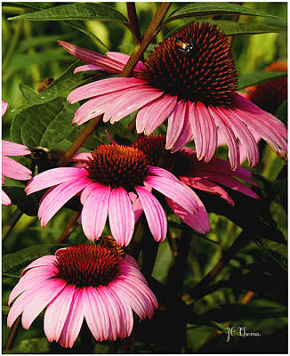 Art Print featuring the photograph Pink Coneflowers by James C Thomas