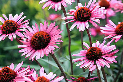 Pink Coneflowers Art Print by Suzanne Gaff