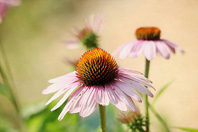 Digital Art - Pink Coneflowers by Trina  Ansel