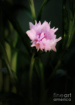 Photograph - Pink Cornflower by Marjorie Imbeau