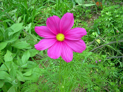 Pink Cosmos Art Print by Aimee L Maher Photography and Art Visit ALMGallerydotcom