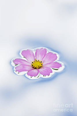 Pink Cosmos Flower Floating On Water Art Print by Tim Gainey