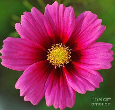 Pink Cosmos Art Print by Kathleen Struckle